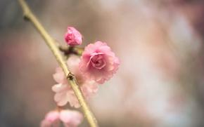 Картинка цветок, макро, розовый, ветка, весна, сакура, боке
