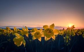 Картинка поле, небо, солнце, облака, лучи, закат, цветы, оранжевый, провода, вечер, желтые, лепестки, Нарциссы