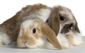 Обои кролик, пара, пушистик