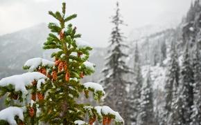 Обои зима, снег, горы, природа, ель, шишки