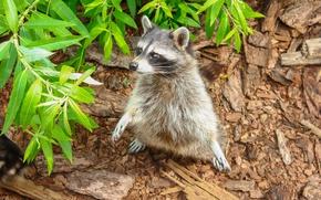 Картинка животное, листва, лапки, шерсть, енот, лапочка, попрошайка
