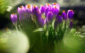 Картинка зелень, трава, листья, цветы, природа, земля, весна, размытость, фиолетовые, крокусы, первоцвет