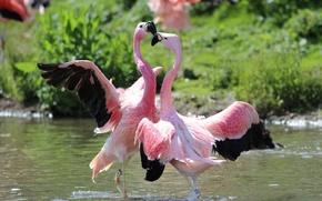 Обои птицы, танец, фламинго