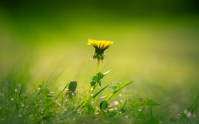 Обои grass, flower, field, buds