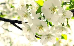Картинка листья, ветка, весна, белые, яблоня, бутоны, цветение