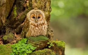 Картинка лес, природа, сова, forest, nature, birds, птинец, owl, Tawny Owl