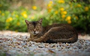 Картинка кошка, взгляд, отдых, дорожка, камешки, серо-коричневая