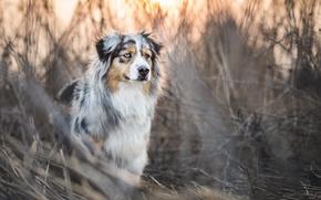 Картинка трава, заросли, собака, обои от lolita777, аусси