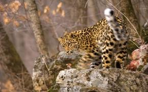 Картинка движение, размытость, мордочка, леопард, котёнок