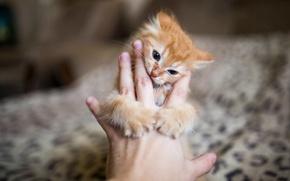 Картинка котенок, рука, размытость, Рыжий