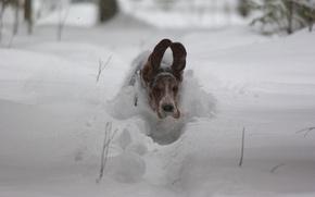 Картинка снег, скорость, собака, полёт, уши