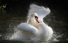 Картинка вода, брызги, озеро, лебедь, Swan, splashing, the water, the lake