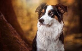 Картинка взгляд, Собака, Бордер-колли, Бонни