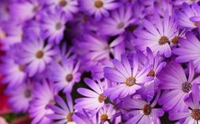 Картинка макро, цветы, лепестки, размытость, сиреневые, Маргаритки