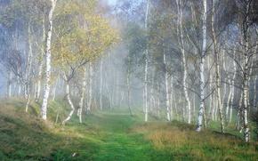 Картинка лес, природа, берёзы
