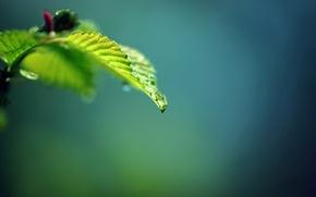 Картинка капли, роса, листок, ветка