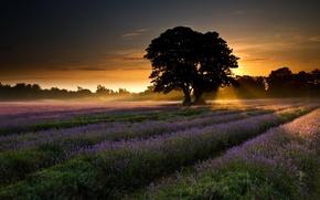Обои поле, деревья, пейзаж, рассвет, Природа, лаванда