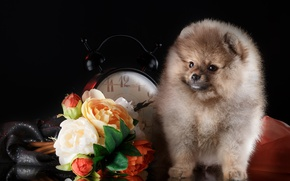 Картинка цветы, часы, щенок, шпиц