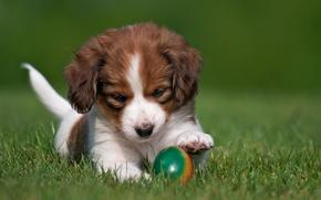 Картинка животные, трава, природа, яйцо, собака, щенок, коикерхондье