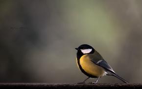 Картинка птица, ветка, желтая, синичка, синица