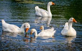 Картинка лето, вода, птицы, река, гуси