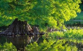 Обои tree, pound, duck, water, nature, green, дерево, кипарис