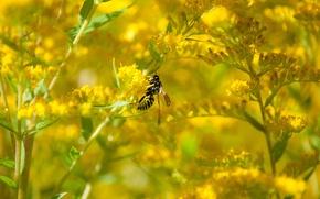 Картинка цветок, оса, август, золотарник