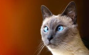Обои косой, глаз, кот