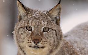 Картинка взгляд, снег, Рысь