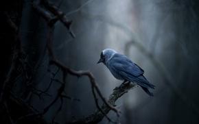 Картинка птица, боке, Галка