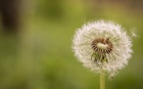 Картинка цветы, природа, одуванчик, весна