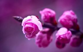 Картинка фиолетовый, макро, фон, розы, ветка, размытость, Розовые