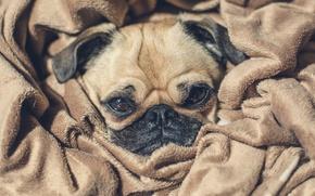 Картинка глаза, лицо, собака, нос, щенок, камуфляж, puppy, eyes, dog, face, nose, camouflage