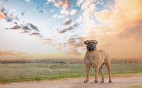 Картинка собака, взгляд, Bullmastiff, друг