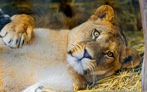 Картинка взгляд, морда, лев, львица