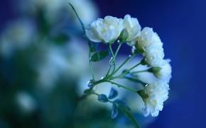 Картинка зелень, листья, вода, капли, макро, цветы, синий, роса, цвет, розы, ветка, лепестки, стебель, белые