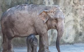 Картинка фон, слоны, зоо