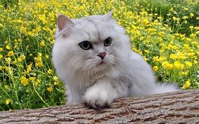 Картинка кот, цветы, пушистый