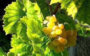 Обои листья, линии, виноград, урожай, краски, ягоды