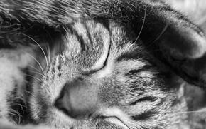 Обои животное, черно-белое, лапка, котик, сон, кот