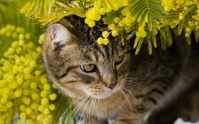 Картинка кот, листья, ветки, животное, мимоза
