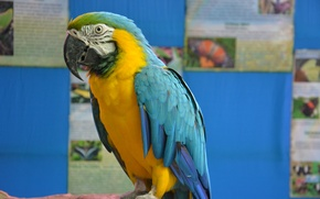 Картинка птица, перья, клюв, попугай, ара, говорящий