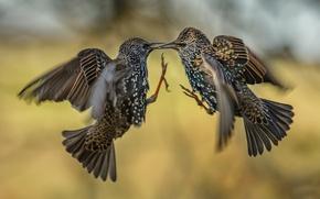 Картинка птицы, две, сражение, в воздухе