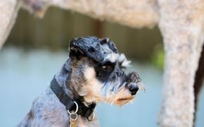 Картинка собака, нос, ошейник, барбос