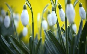Картинка размытость, макро, фон, Подснежники, трава, желтый, весна