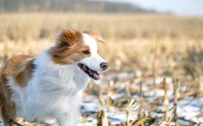 Картинка зима, поле, собака