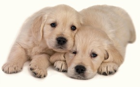Картинка Dogs, Animals, Two Puppies