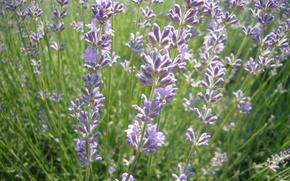 Картинка поле, лето, цветы, Лаванда