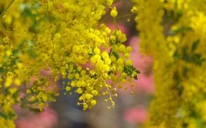 Обои дерево, весна, желтые, цветение, цветки, акация