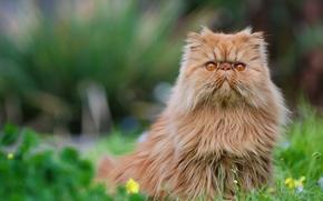 Картинка кот, рыжий, персидская кошка